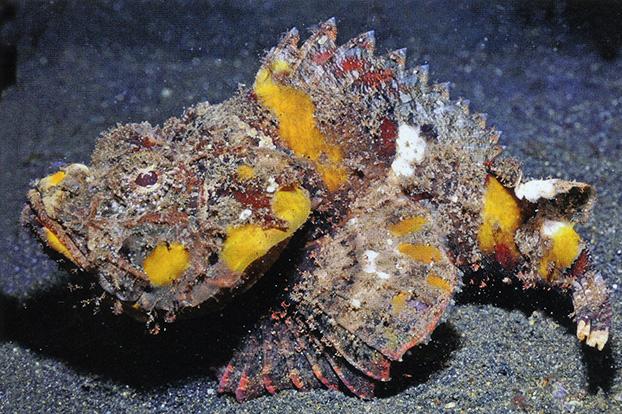 Scorpaenospsis Neglecta